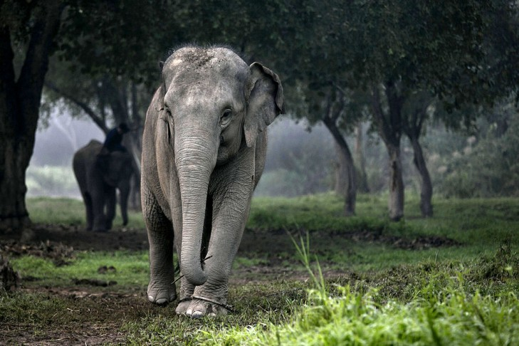 A Thai elephant walks in the jungle in the early morning fog at an elephant camp at the Anantara Golden Triangle resort in northern Thailand. (Photo by Paula Bronstein/Getty Images)