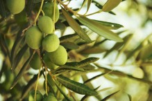 Olives-on-olive-tree-in-autumn-000043129904_Medium