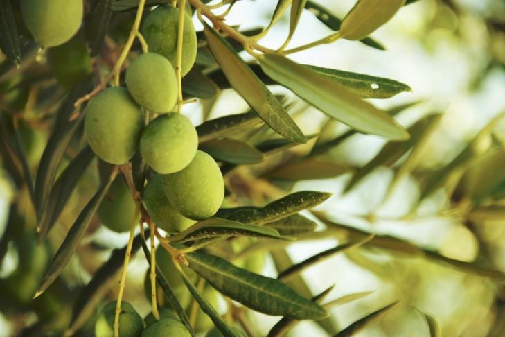 Olives-on-olive-tree-in-autumn-000043129904_Medium