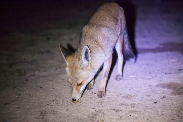 A fox explores the camp (Courtesy Udi Goren)