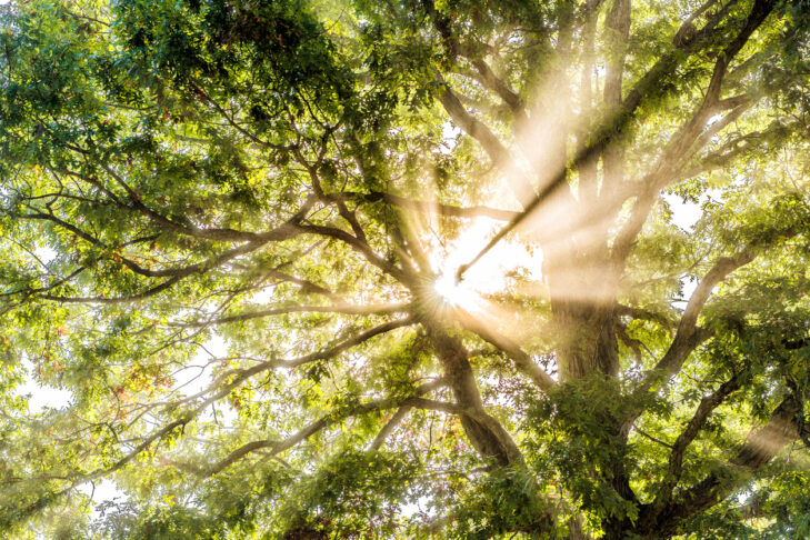 Closeup of sunburst sun rays through leaves of large green tree in autumn with orange leaves in mist, fog through foggy silhouette in morning countryside concept