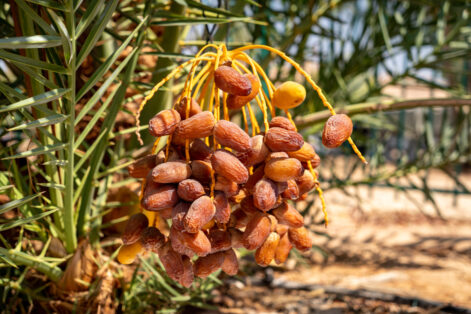 The Methuselah date harvest in September 2020 (Photo: Marcos Schonholz)