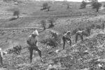 MEMBERS OF KIBBUTZ MANARA PLANTING FRUIT TREES ON THE SLOPE...חלוצים, חברי קיבוץ מנרה, שותלים עצי פרי.