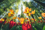Wide Angle view from below on multi-colored tulips growing in the forest.