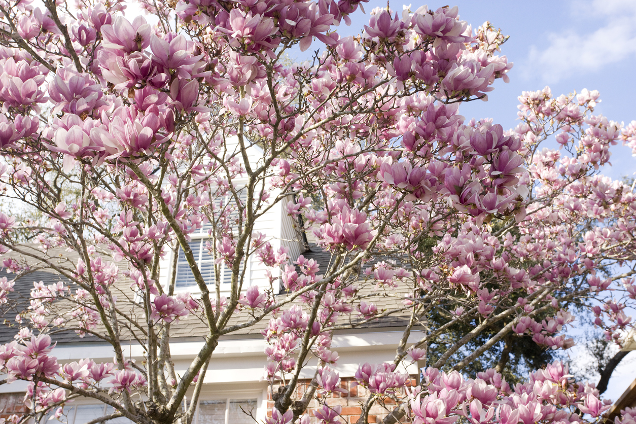 Spring in Texas. Blooming trees in spring in residential area. Magnificent pink flowers of Japanese Magnolia.