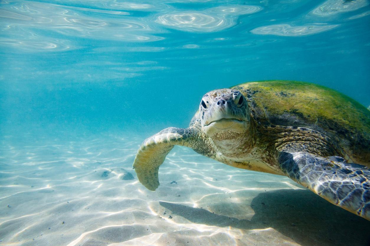 The green sea turtle (Chelonia mydas). Shot taken on Hikkaduwa's coral reef, Sri Lanka