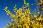 Blooming spring yellow shrub flowers - Forsythia intermedia (border forsythia).