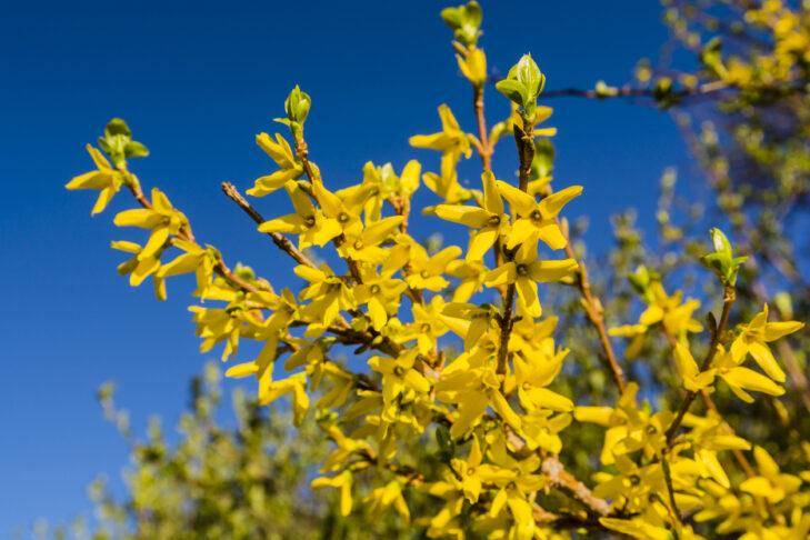 Blooming spring yellow shrub flowers - Forsythia intermedia (border forsythia).