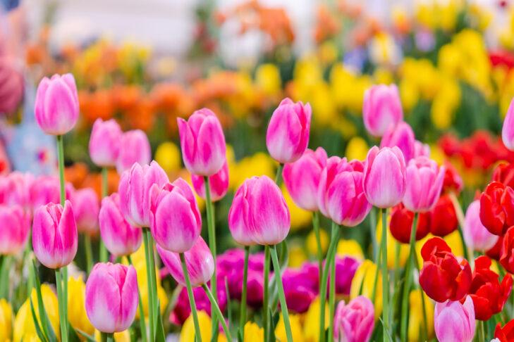 Beautiful pink tulip flowers in the garden