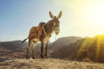 Donkey in Petra ancient town. Donkey portrait close up, Jordan
