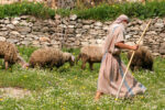 Shepherd in traditional garb leads his sheep through the pastures of Israel